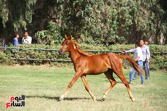 مزاد الخيول (2)