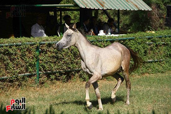 مزاد الخيول (8)