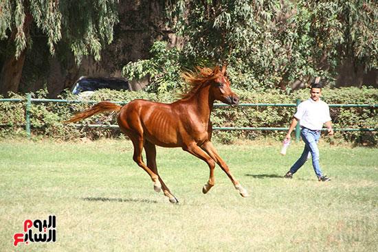 مزاد الخيول (4)