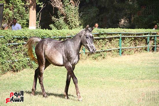 مزاد الخيول (13)