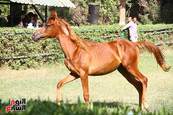 مزاد الخيول (3)
