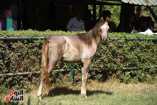 مزاد الخيول (18)
