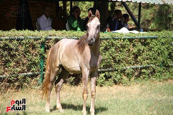 مزاد الخيول (19)