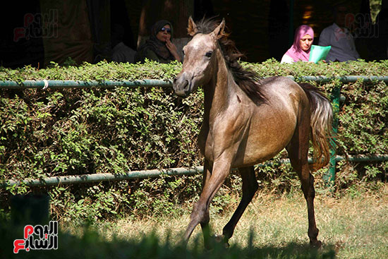 مزاد الخيول (17)