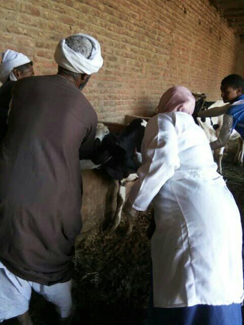 تحصين الماشية بقافلة الطب البيطرى بقرى أسوان (9)