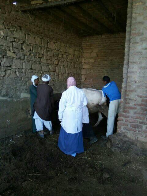 تحصين الماشية بقافلة الطب البيطرى بقرى أسوان (8)