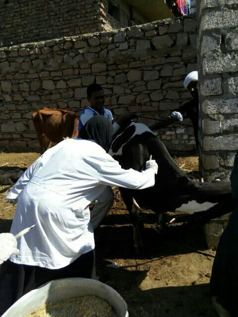 تحصين الماشية بقافلة الطب البيطرى بقرى أسوان (3)