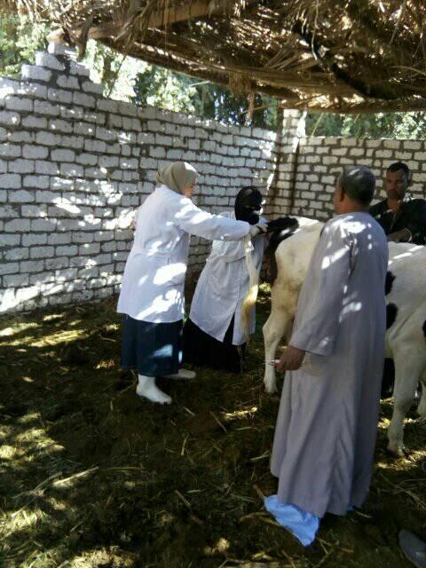 تحصين الماشية بقافلة الطب البيطرى بقرى أسوان (6)