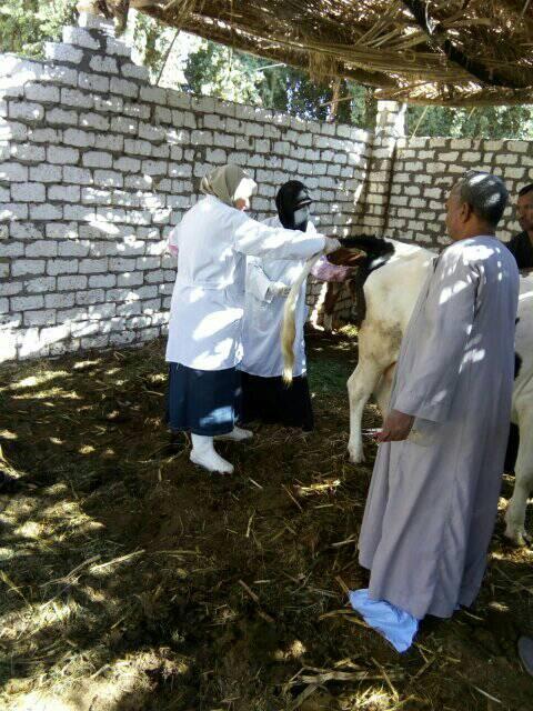 تحصين الماشية بقافلة الطب البيطرى بقرى أسوان (2)