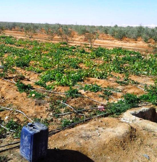 مزارع-سيناء