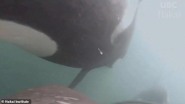 الحيتان القاتلة