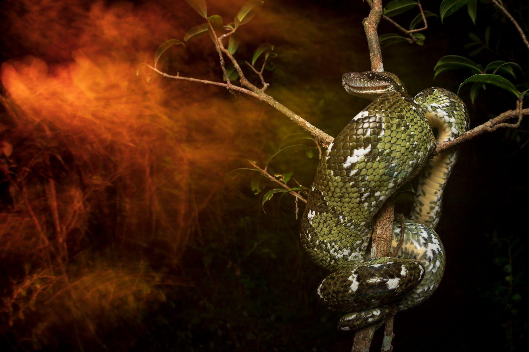 الثعبان الملتف على الشجرة