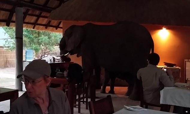 الفيل يقتحم المطعم