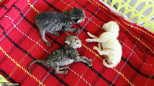 ولادة قطة برأسين على قيد الحياة فى تايلاند.. صور   (2)
