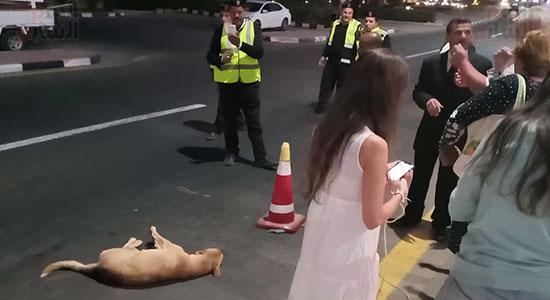 إنقاذ كلب بلدى صدمته سيارة فى شوارع شرم الشيخ (7)