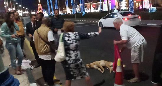 إنقاذ كلب بلدى صدمته سيارة فى شوارع شرم الشيخ (8)
