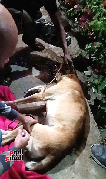 إنقاذ كلب بلدى صدمته سيارة فى شوارع شرم الشيخ (5)