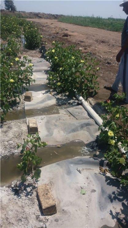 زراعة محصولي القطن وبنجر السكر باستخدام المياه المالحة  (5)