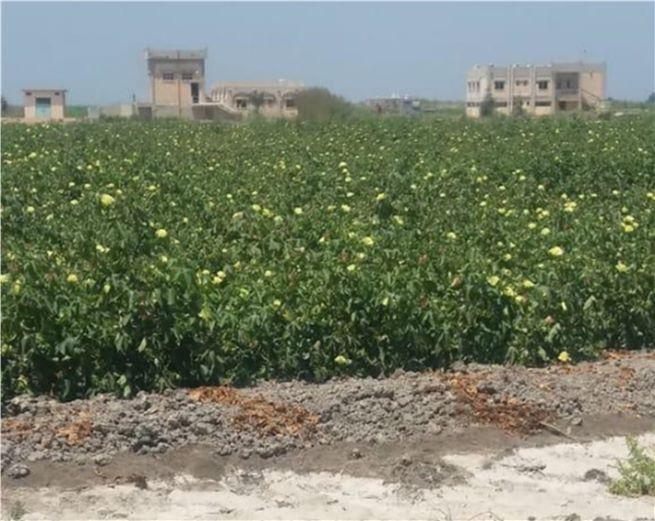 زراعة محصولي القطن وبنجر السكر باستخدام المياه المالحة  (3)