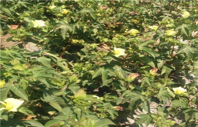 زراعة محصولي القطن وبنجر السكر باستخدام المياه المالحة  (11)