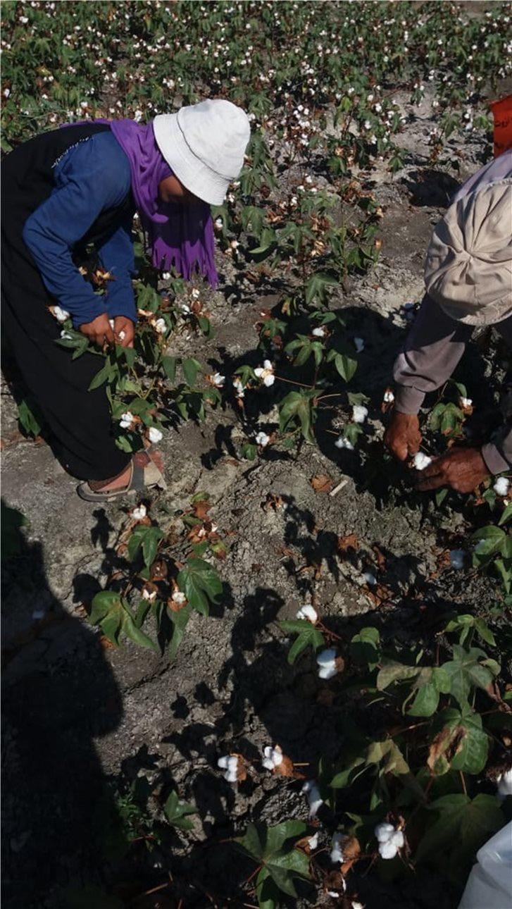 زراعة محصولي القطن وبنجر السكر باستخدام المياه المالحة  (4)