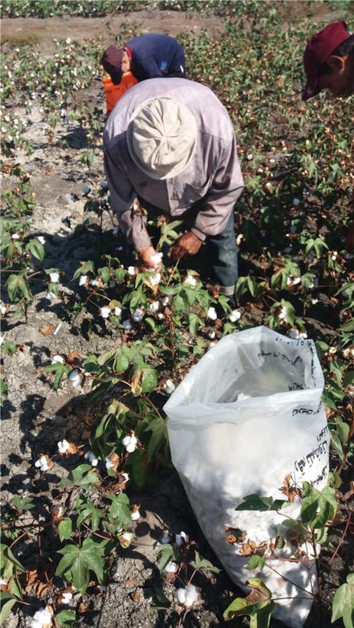 زراعة محصولي القطن وبنجر السكر باستخدام المياه المالحة  (8)