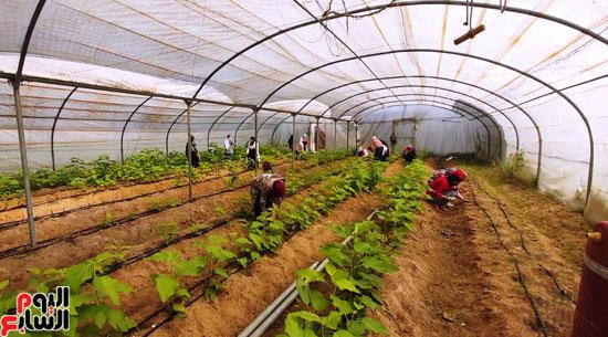 التين-الأسباني-الأبيض-بنظام-الزراعة-المكثفة-(2)