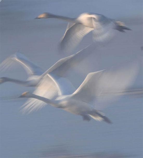 بجع فوق بحيرة البجع المتواجدة على أراضي المحمية الطبيعية فى إقليم ألتاى الروسى
