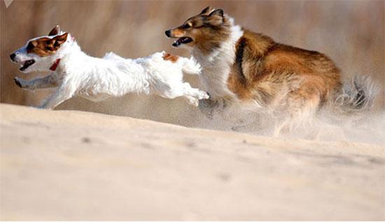 كلب جاك راسل تيرير وكلب شيلتى أثناء تدريبات الكلاب فى قازان الروسية