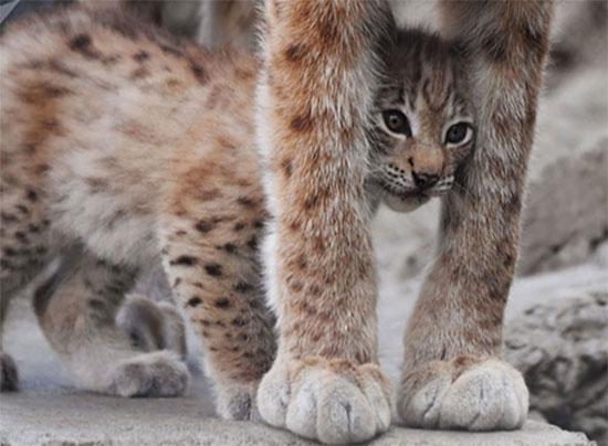شبل وشق شرق سيبيريا فى حديقة حيوانات موسكو