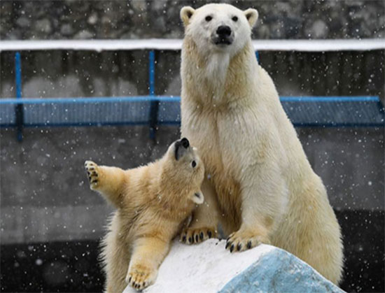 أنثى الدب القطبي غيردا وصغيرها تيدي فى حديقة الحيوانات فى نوفوسيبيرسك