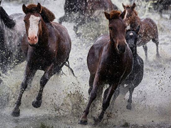 خيول فى منغوليا