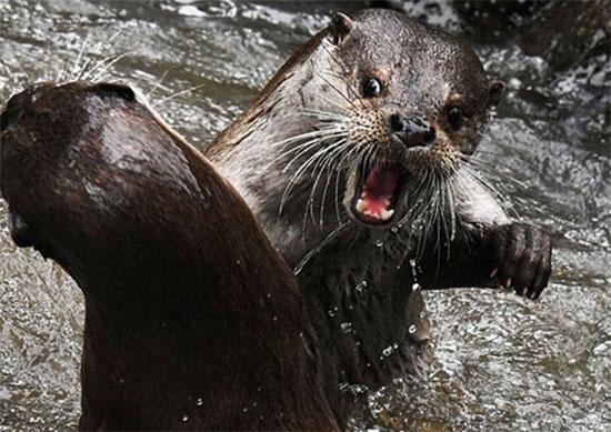 اثنان من ثعالب الماء يتقاتلان