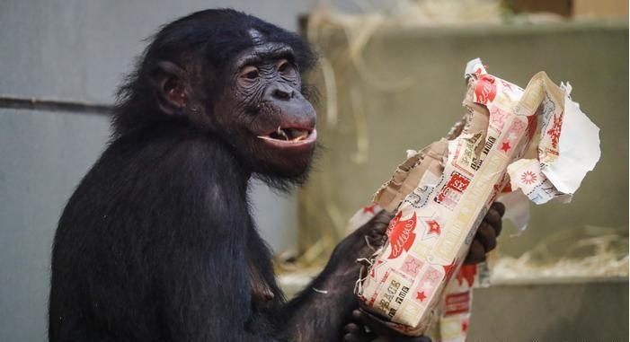 الشمبانزى يتلقى هدايا الكريسماس فى ألمانيا