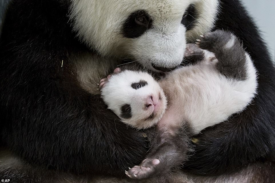 20472428-7759537-Beaming_mother_Meng_Meng_gives_one_of_her_cubs_a_loving_cuddle_a-a-9_1575558055973