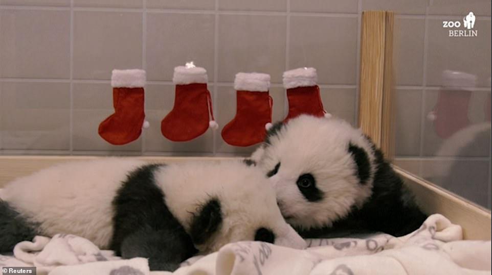 هدايا الكريسماس لصغار الباندا الصينية مينج مينج