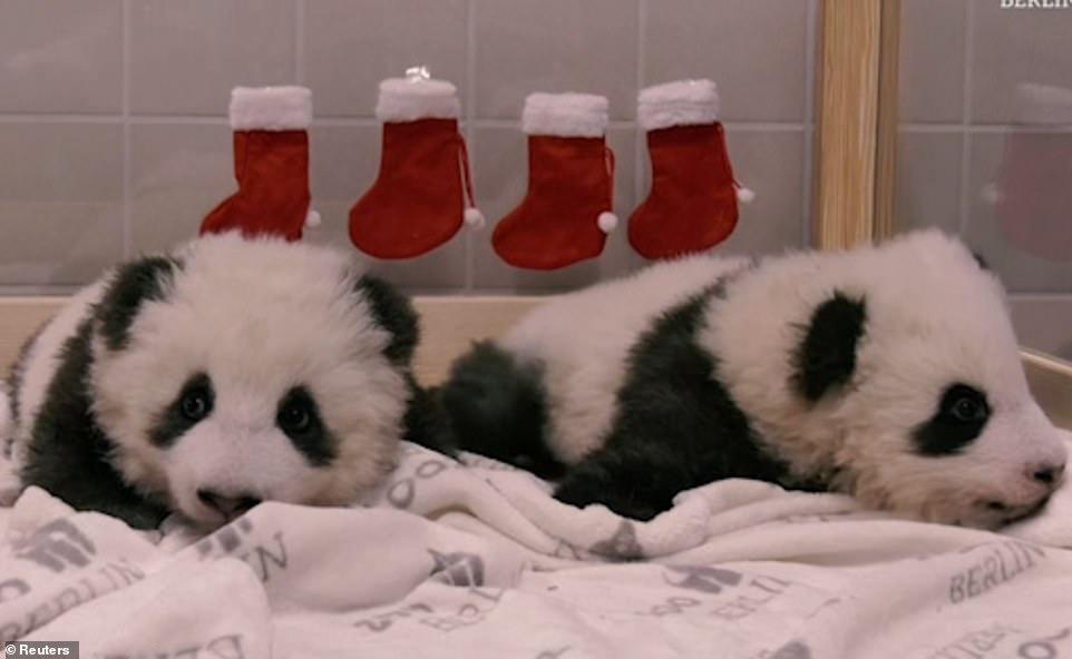 توأم الباندا الصينى مينج مينج