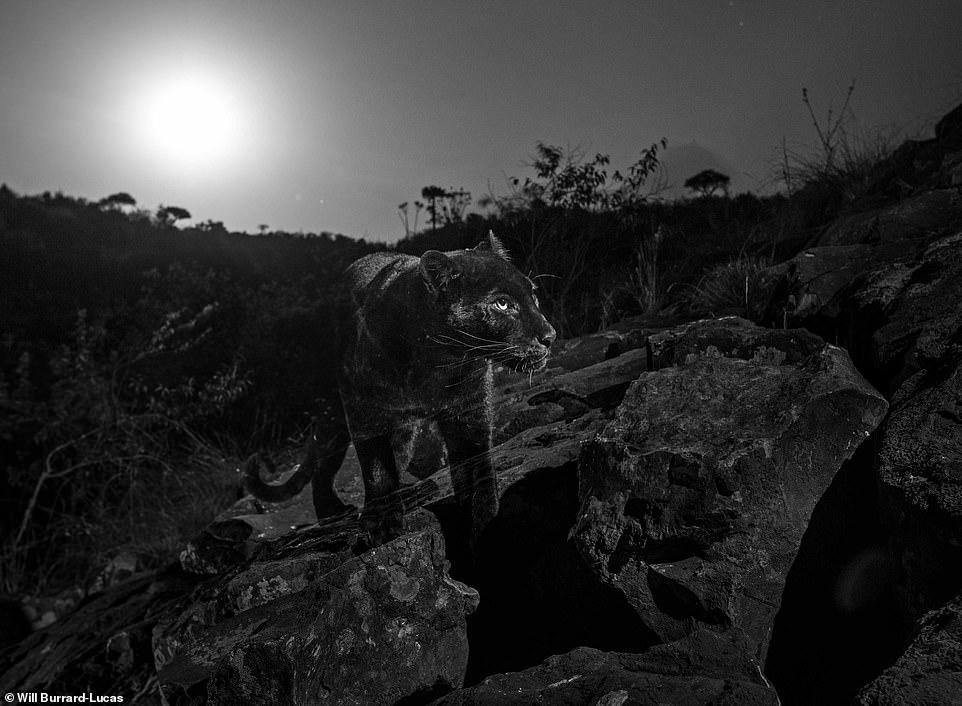 النمر الاسود تحت ضوء القمر