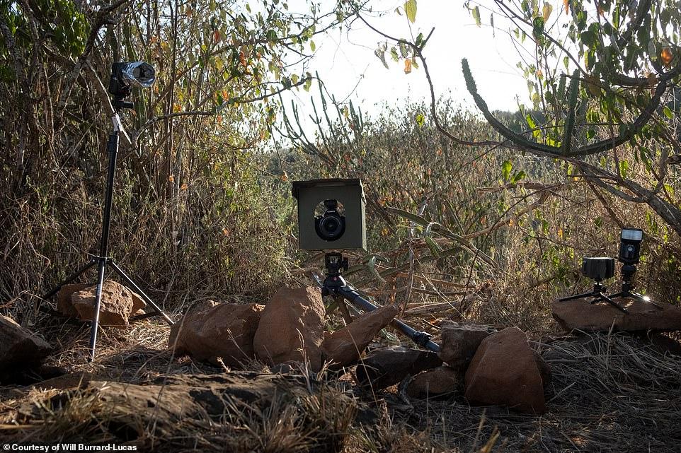 تجهيز الكاميرات من اجل تصوير النمر الأسود