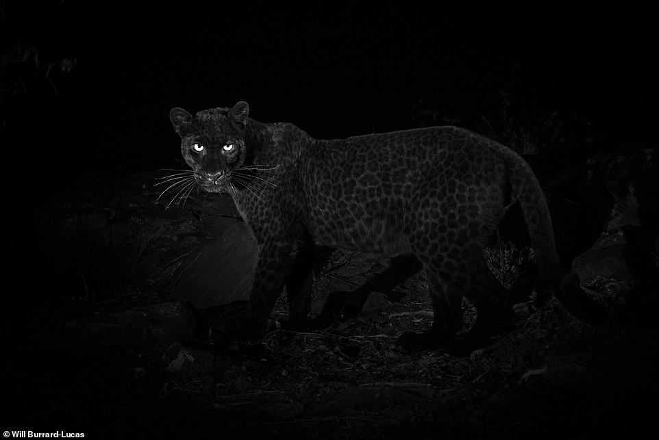صورة للنمر الاسود فى الليل
