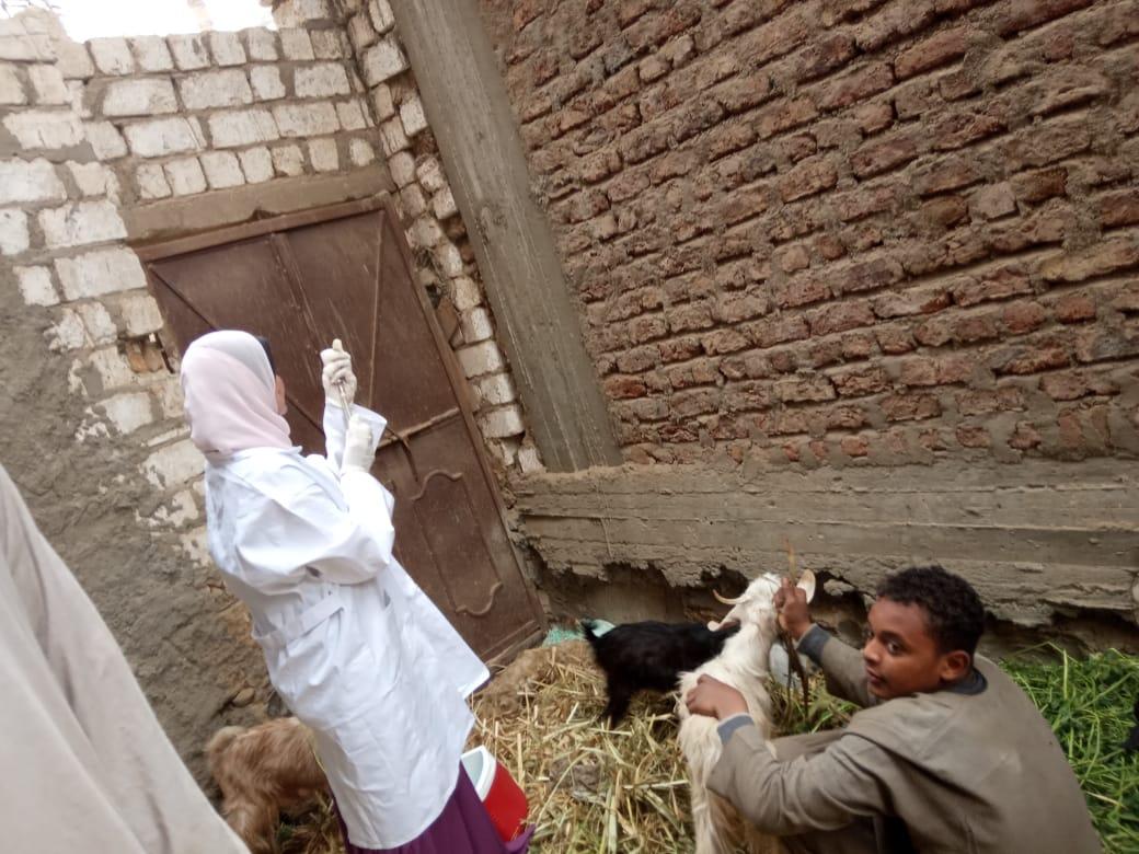 تحصين الماشية  ضد مرض الحمى القلاعية  (8)