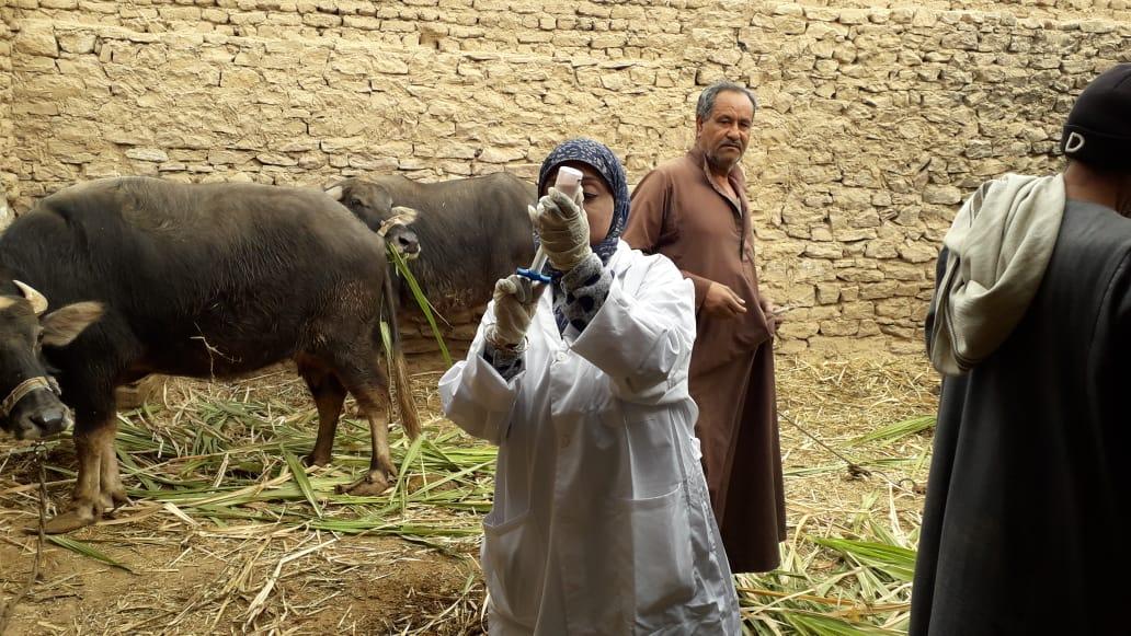 تحصين الماشية  ضد مرض الحمى القلاعية  (9)