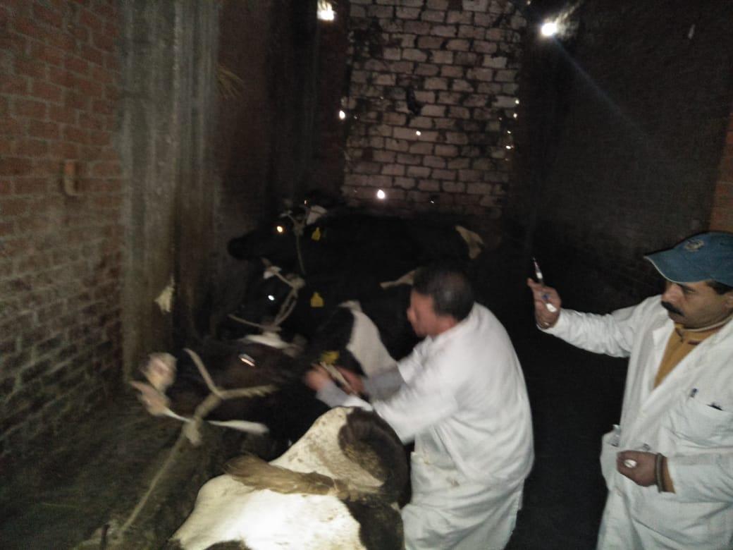 تحصين الماشية  ضد مرض الحمى القلاعية  (3)