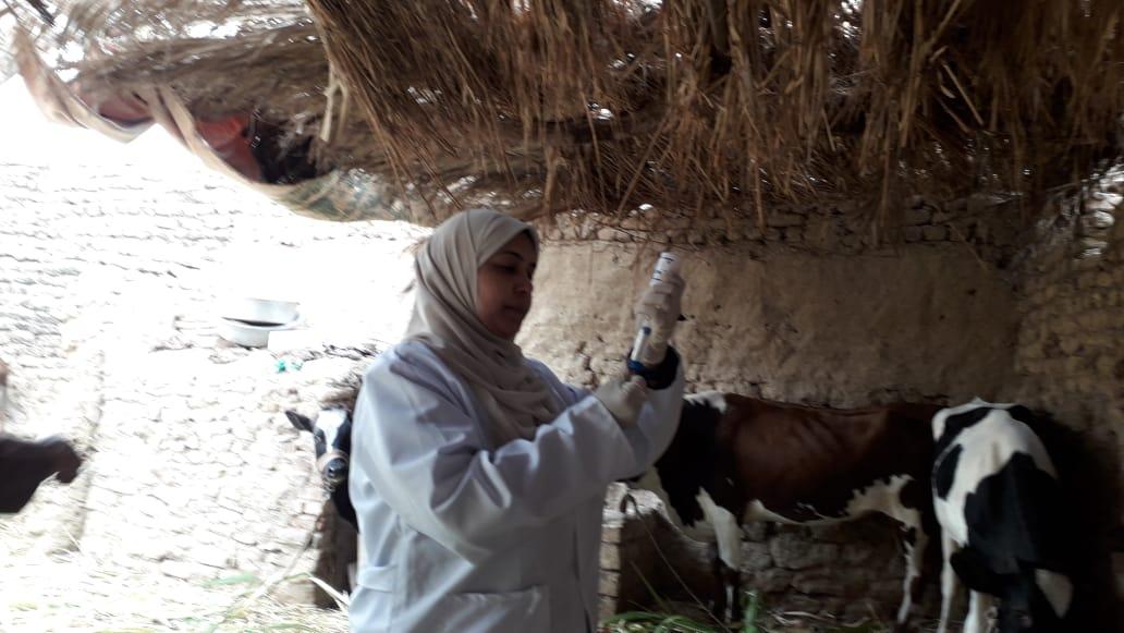 تحصين الماشية  ضد مرض الحمى القلاعية  (10)