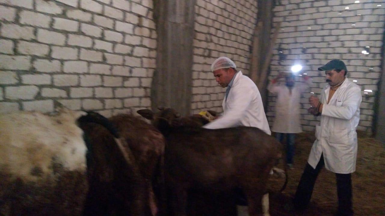 تحصين الماشية  ضد مرض الحمى القلاعية  (1)