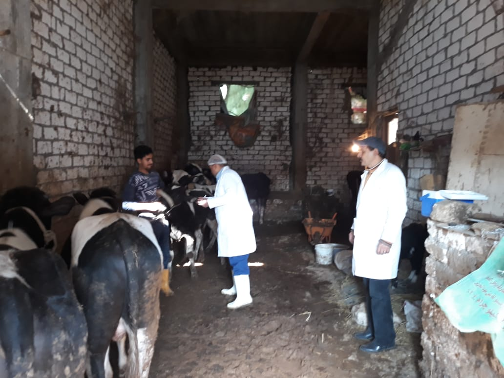 تحصين الماشية  ضد مرض الحمى القلاعية  (5)