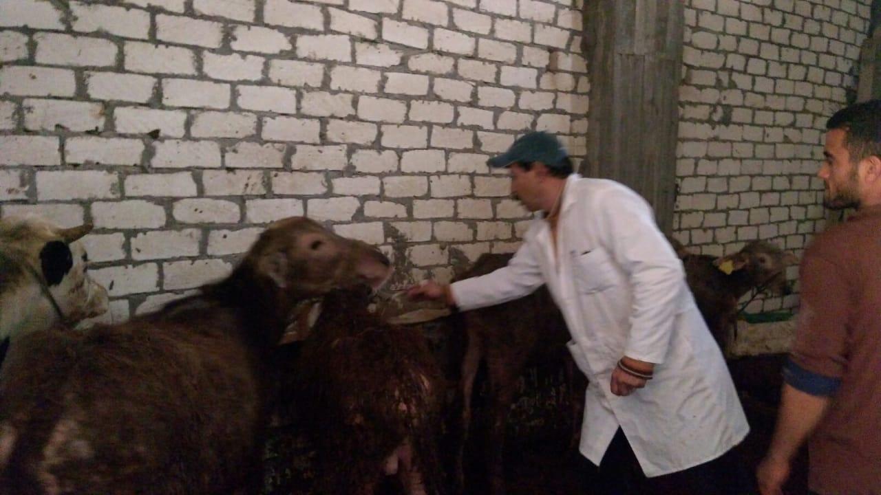 تحصين الماشية  ضد مرض الحمى القلاعية  (6)
