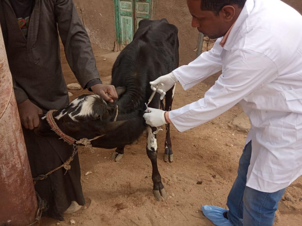 تحصين الماشية  ضد مرض الحمى القلاعية  (7)