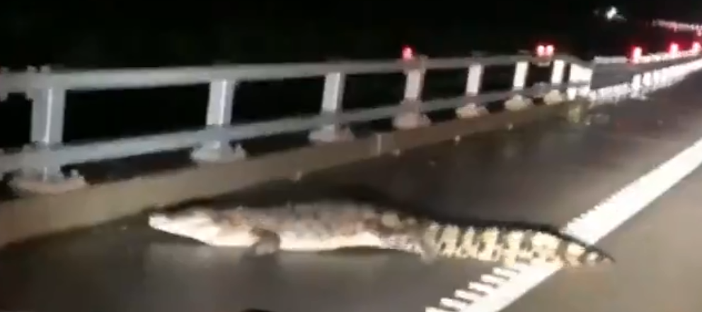 تمساح على طريق فى استراليا بعد موجة الفيضانات