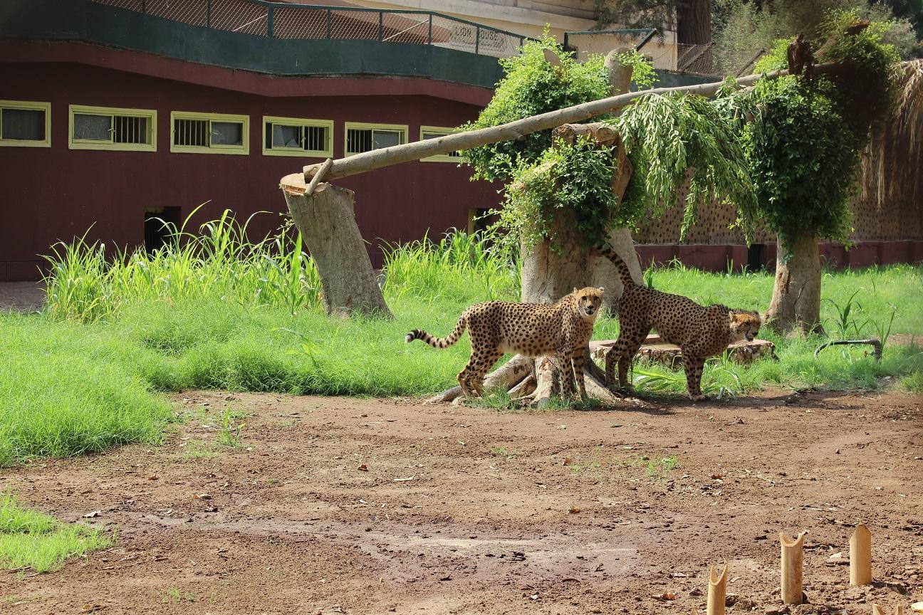 الفهد الإفريقى